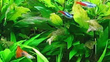 Artykuły i porady krewetkowe - hodowla krewetek ShrimpStar