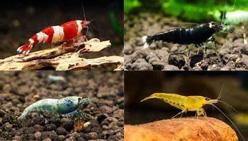 Krewetki akwariowe - Hodowla krewetek ShrimpStar
